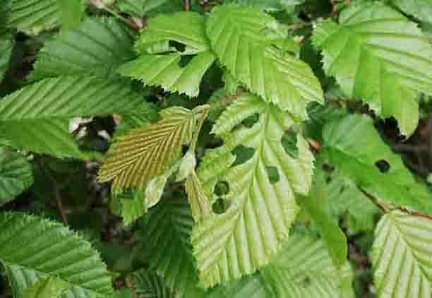 De bladeren in de tuin zien er zo uit als je last hebt van luizen.