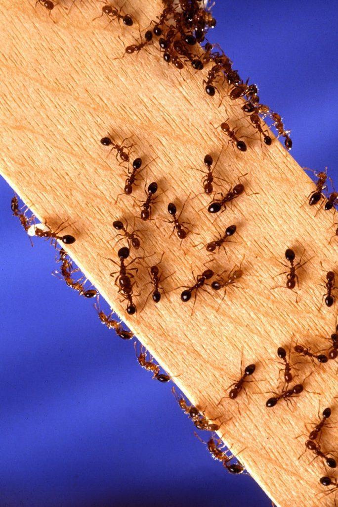 Mieren in huis nest onvindbaar