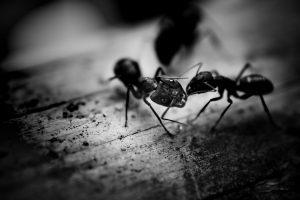 Het mediterraan draaigatje is een fel zwarte mier.