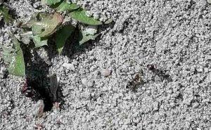 Mieren rond mierennest
