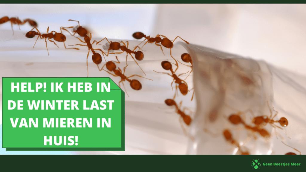 Help! Ik heb in de winter last van mieren in huis!