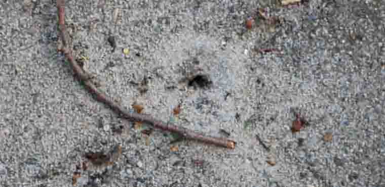 Mierennest nabij tegel