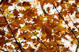 Bladeren van eikenbomen zijn het favoriete hapje van de eikenprocessierups, maar let wel: ze leven niet altijd perse in een eikenboom