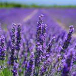 Lavendel tegen vlooien inzetten