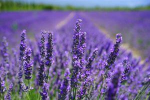 Lavendel, een natuurlijk alternatief tegen vlooien.