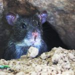 12 veelgestelde vragen over muizen in huis