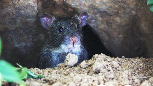 Je komt niet van de vlooien in huis af als je niet eerst de muizen en ratten aanpakt.