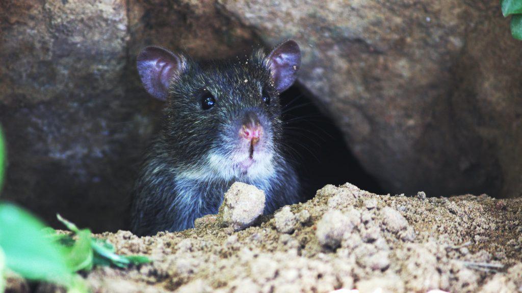 Veelgestelde vragen over muizen in huis