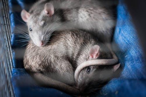 Ratten zijn veel groter dan muizen.