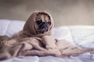 Honden en katten die overal mogen komen, verspreiden een vlooienprobleem door het hele huis. Je komt er dan ook alleen vanaf door het hele huis aan te pakken.