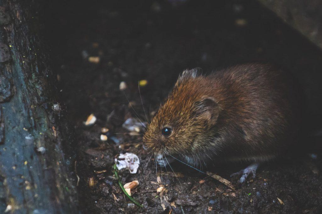een rat of muis met vlooien