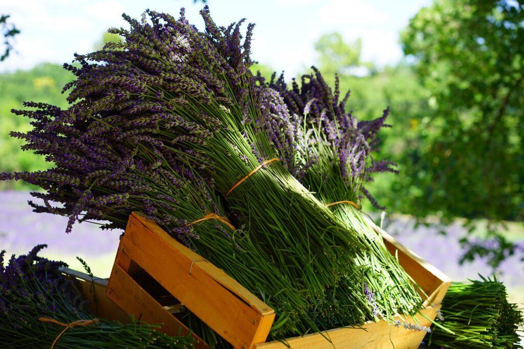 Foto van een grote bundel lavendel