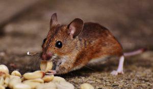 Foto van een muis die pinda's eet