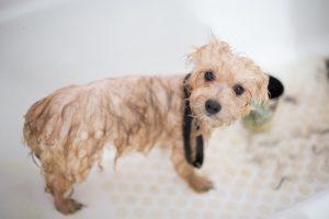 Heb je een huisdier die buiten mag komen, zoals een hond of een kat, dan moet je daar binnen met het bestrijden van de vlooien.