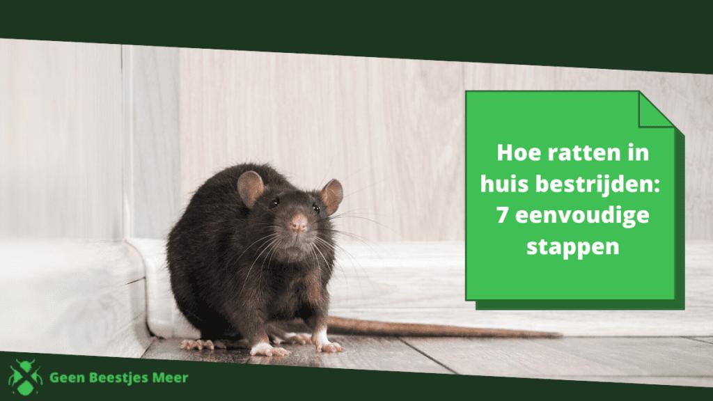 Hoe ratten in huis bestrijden