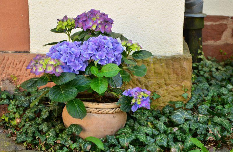 Foto van hortensia in pot