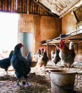 Foto van kippen in een mooie houden kippenhok met hangende voederbakken