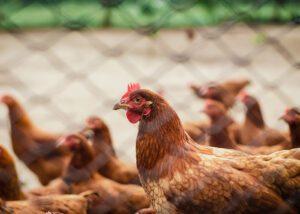 Foto van kippen in een kippenhok