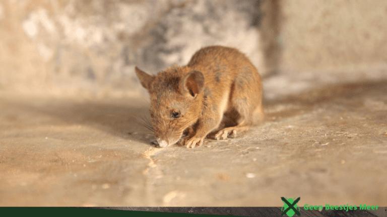 Hoe weet je of je ratten in huis hebt_