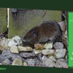 Muizen diervriendelijk bestrijden: 6 humane methoden