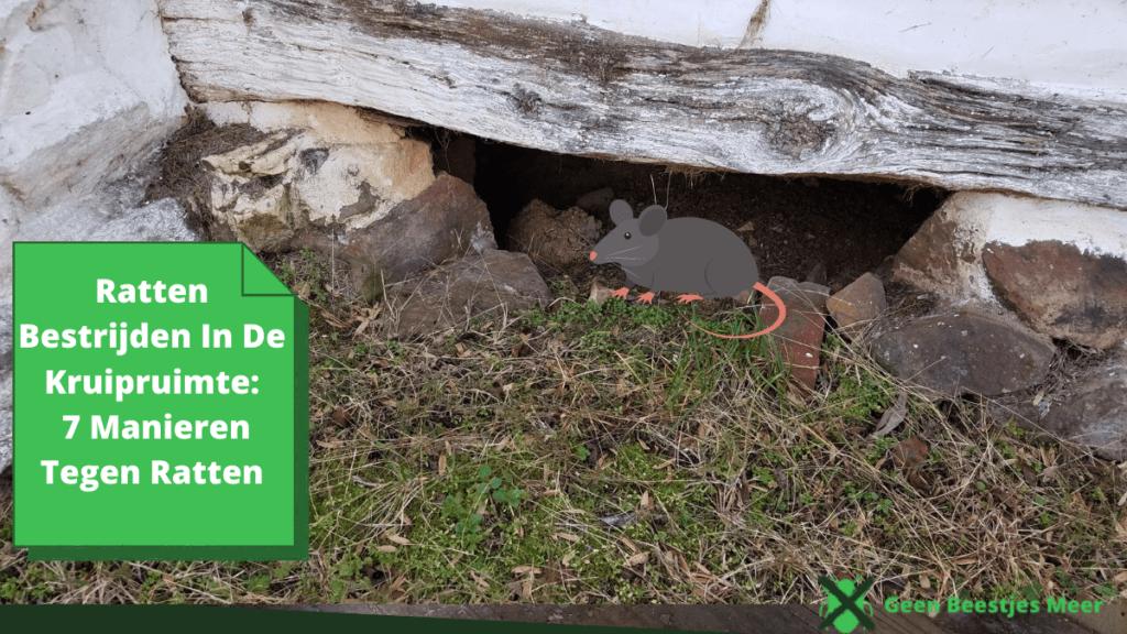 Ratten bestrijden in de kruipruimte_ 7 manieren tegen ratten