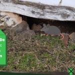 Ratten bestrijden in de kruipruimte: 7 manieren tegen ratten