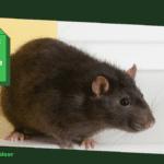 Ratten bestrijden met bleek: 4 verschillende toepassingen