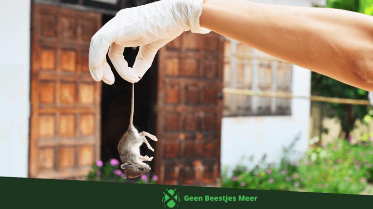 Vangen of doden van de ratten