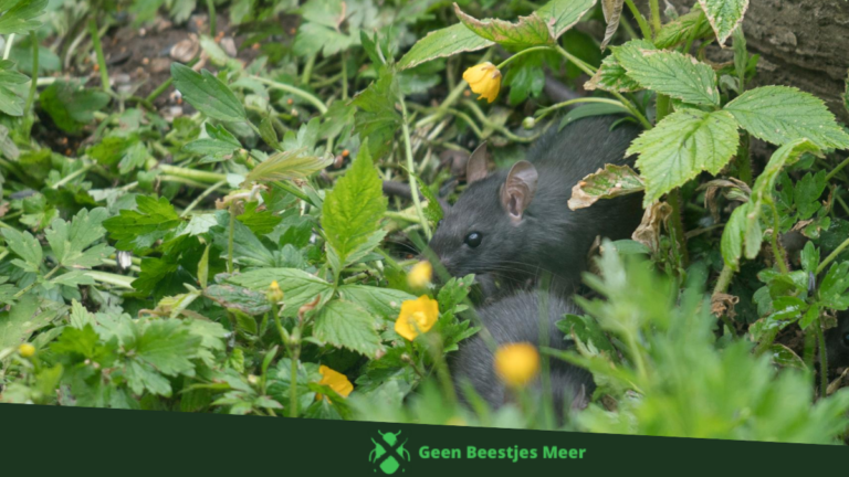 Waarom zijn ratten zo problematisch_