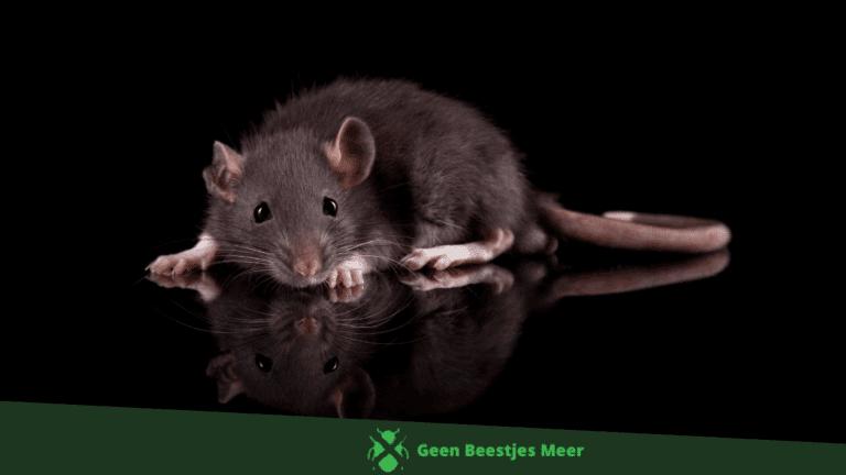 Wat is ultrasoon geluid en kan je daarmee ratten bestrijden_