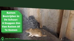 Ratten bestrijden in de schuur_ 6 stappen om van ratten af te komen