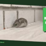 Ratten bestrijden met geur: 8 verschillende geuren