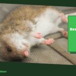Ratten bestrijden zonder gif: 6 manieren