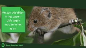 Muizen bestrijden in het gazon_ gids tegen muizen in het gras