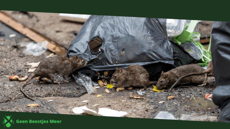 Zorg dat ratten binnen niets te eten hebben