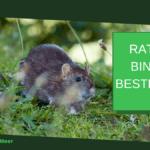 Ratten binnen bestrijden: in 4 stappen binnen van ratten af