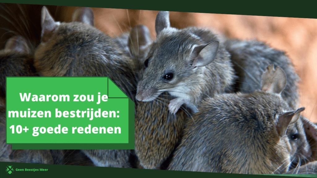 Waarom zou je muizen bestrijden? 10 goede redenen