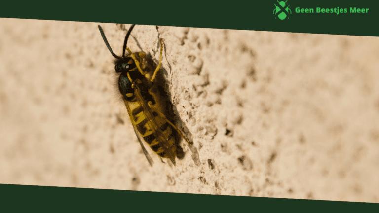 Ervaringen met het bestrijden van wespen in een spouwmuur