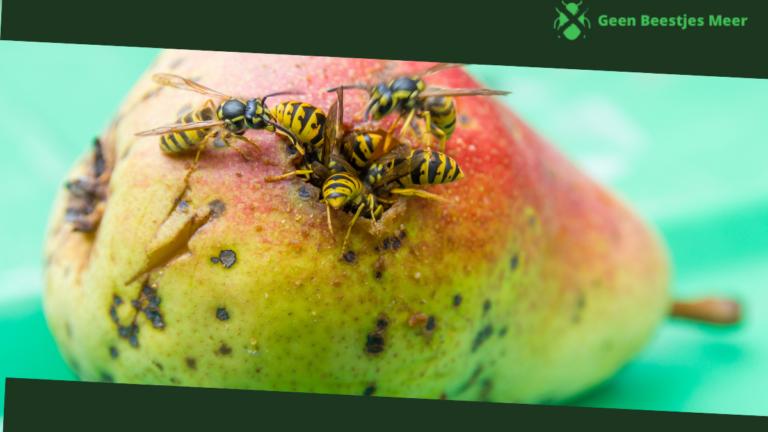 Waar zijn wespen in de herfst eigenlijk naar opzoek